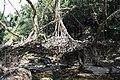 Living Root Bridge in Mawlynnong.jpg