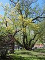 Ljubljana - Miklošičev park - krilati oreškar (Pterocarya fraxinifolia) 1.jpg