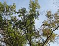 Loantaka Way NJ birds gathering in trees for possible convention.JPG