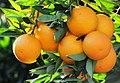 Local Orange Variety of Kozan - Kozan Yerli Portakal 05.jpg