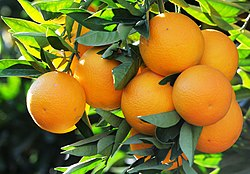 Local Orange Variety of Kozan - Kozan Yerli Portakal 05.jpg