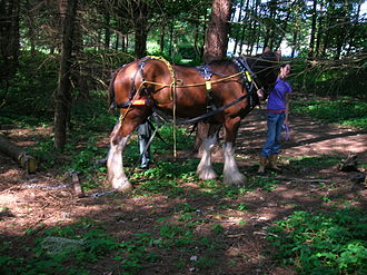 Draft horse - Extracting logs with a Clydesdale at Eglinton Country Park in Scotland.
