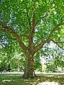 London Plane, St James's Park - geograph.org.uk - 1408574.jpg