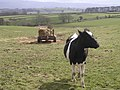 Lone Cow near Keld Farm - geograph.org.uk - 153732.jpg