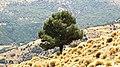 Lone tree in the alpujarras, Spain.jpg