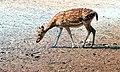 Lonely deer.jpg