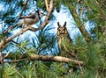 Long-eared owl in Central Park (50266).jpg