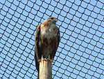 Long-legged Buzzard Biblical Zoo.jpg