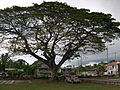 Loon Bohol Tree.jpg