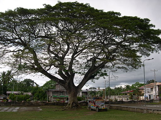 Loon Bohol Tree