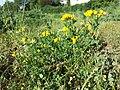Lotus corniculatus var. corniculatus s. lat. sl1.jpg