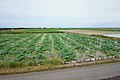 Lotus fields on reclaimed plain in Shintaku, Shiroishi.jpg