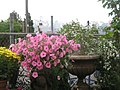 Lovely Flowers, Sandy, Salt Lake City - panoramio.jpg