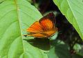 Loxura atymnus - Yamfly 25.JPG