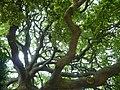 Luccombe oak (quercus hispanica) - geograph.org.uk - 821375.jpg