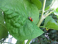 Lufa Farms Ladybugs on a leaf.jpg