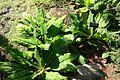 Lysichiton americanus - VanDusen Botanical Garden - Vancouver, BC - DSC06724.jpg