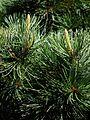 MA Pinus parviflora 2011.JPG