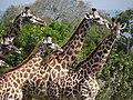 Maasai Giraffes - Mikumi National Park - Tanzania - 08 (8892205033).jpg