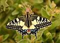 Macaón - Papilio machaon.jpg