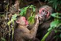 Macaca arctoides, Stump-tailed macaque - Kaeng Krachan National Park (23274848523).jpg