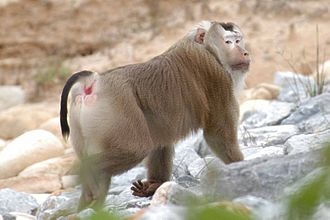 Macaque - Image: Macaca nemestrina