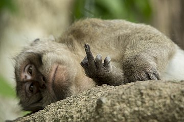 Macaque showing the middle finger.jpg