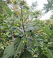 Macrocarpaea sodiroana (14085013534).jpg