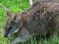 Macropus-parma-parma-wallaby.jpg