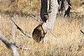 Macropus fuliginosus (32510578962).jpg
