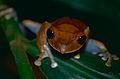 Madagascar Bright-eyed Frog (Boophis madagascariensis) (10313561113).jpg