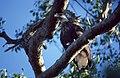 Madagascar Fish Eagle (Haliaeetus vociferoides) (44679716214).jpg