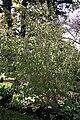 Madeira, Palheiro Gardens - Holmskioldia sanguinea IMG 2256.JPG