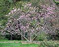 Magnolia 'Judy' (Cultivar of Magnolia) (26532118871).jpg