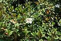 Magnolia IMG 3673 1725.jpg
