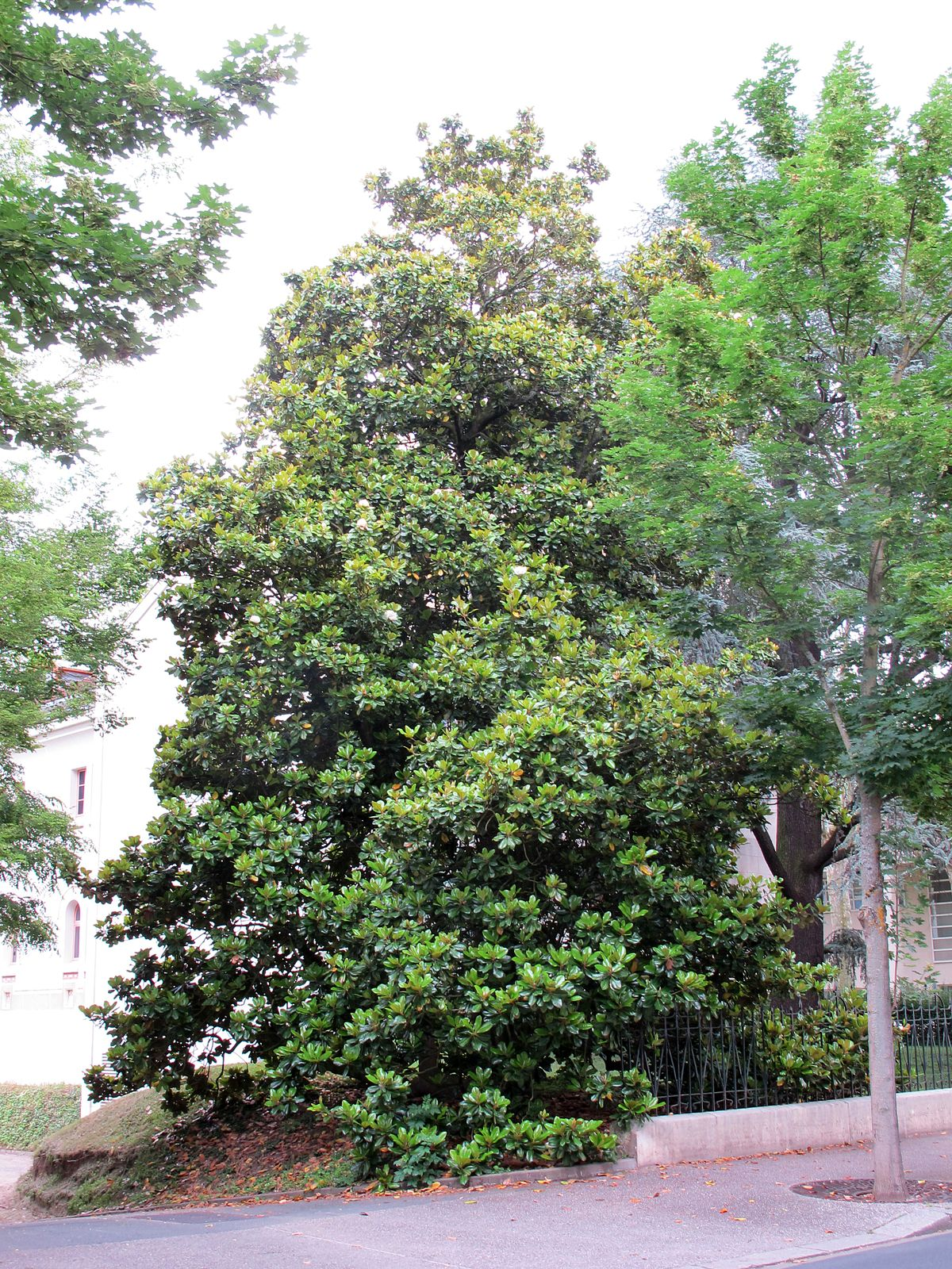 Magnolia grandiflora 39 treyviensis 39 wikidata - Magnolia grandiflora ...