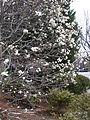 Magnolia tree 4.JPG