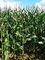 Maize, near The Warren, Wiltshire - geograph.org.uk - 546070.jpg