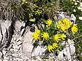 Malá Fatra, Anthyllis vulneraria.jpg