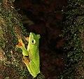 Malbargliding frog.jpg