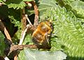 Male Hairy-Footed Flower Bee Anthophora plumipes GT.jpg