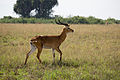 Male Ugandan kob - Queen Elizabeth National Park, Uganda (2).jpg