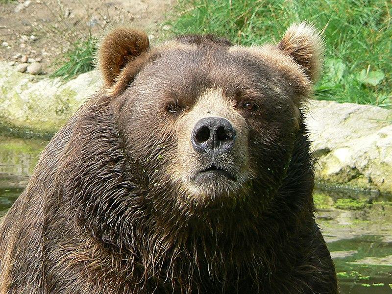 Male Kodiak Bear Face