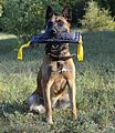 Malinois playing with bite tug made of french linen.JPG