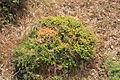 Malta - Mellieha - Triq il-Marfa - L-Inhawi tal-Ghadira - Euphorbia melitensis+Cuscuta epithymum 01 ies.jpg