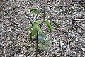 Mangifera indica 18zz.jpg
