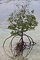 Mangrove tree mactan.jpg