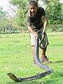 Manoj Gogoi with king cobra.jpg