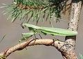 Mantis (2828014843).jpg
