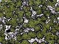 Map lichen.jpg